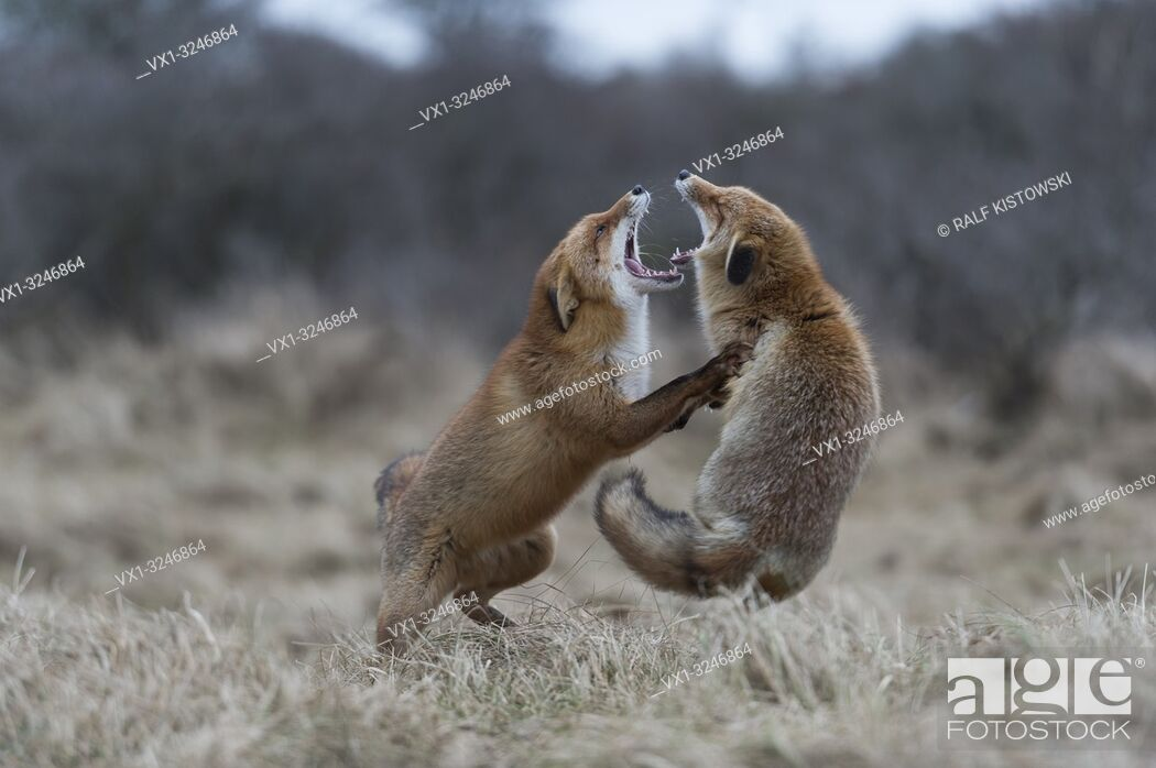 Stock Photo: Red Foxes / Rotfuechse ( Vulpes vulpes ) in hard fight, fighting, standing on hind legs, biting each other, while rutting season.