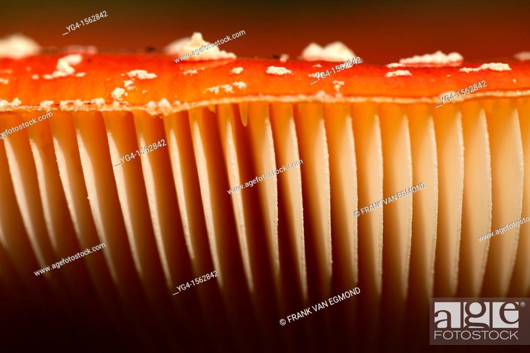 Stock Photo: Fly Agaric gills, Herperduin, Herpen, The Netherlands.