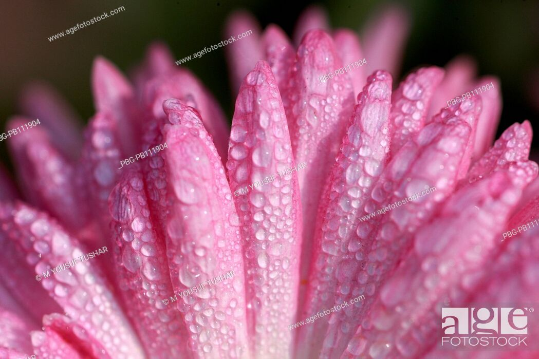Imagen: A cosmor flower Bangladesh.