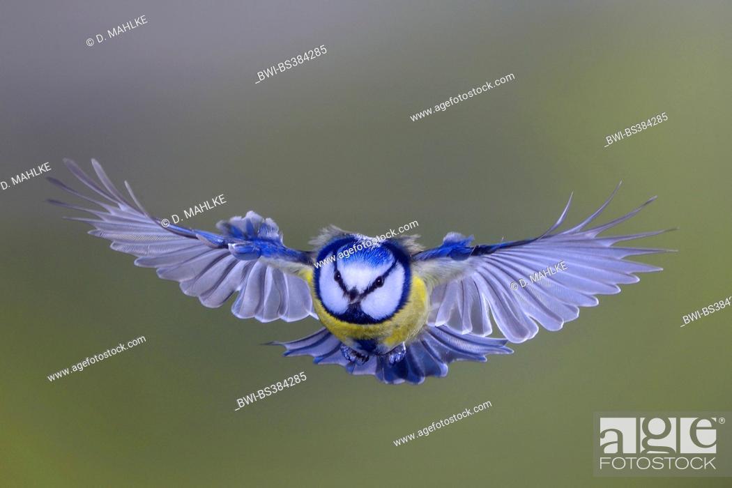 Stock Photo: blue tit (Parus caeruleus, Cyanistes caeruleus), flying, Germany, North Rhine-Westphalia.