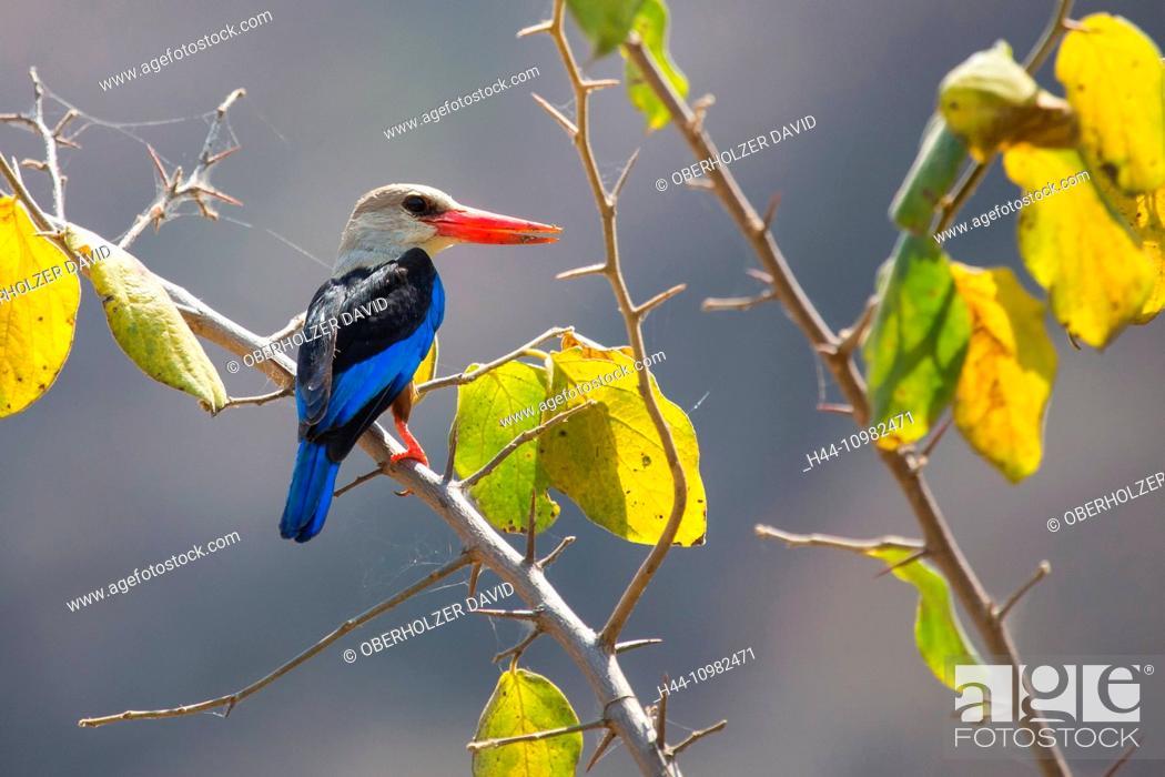 Stock Photo: grey-headed kingfisher in Tanzania.