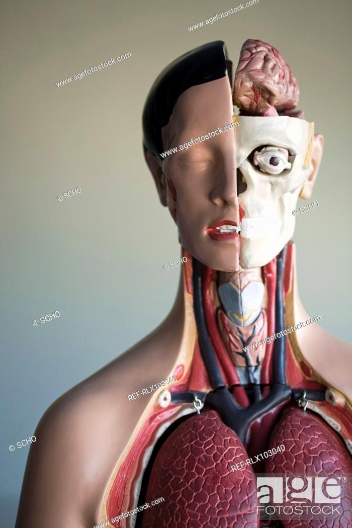 Stock Photo: Anatomic model showing inner organs in classroom, close-up.