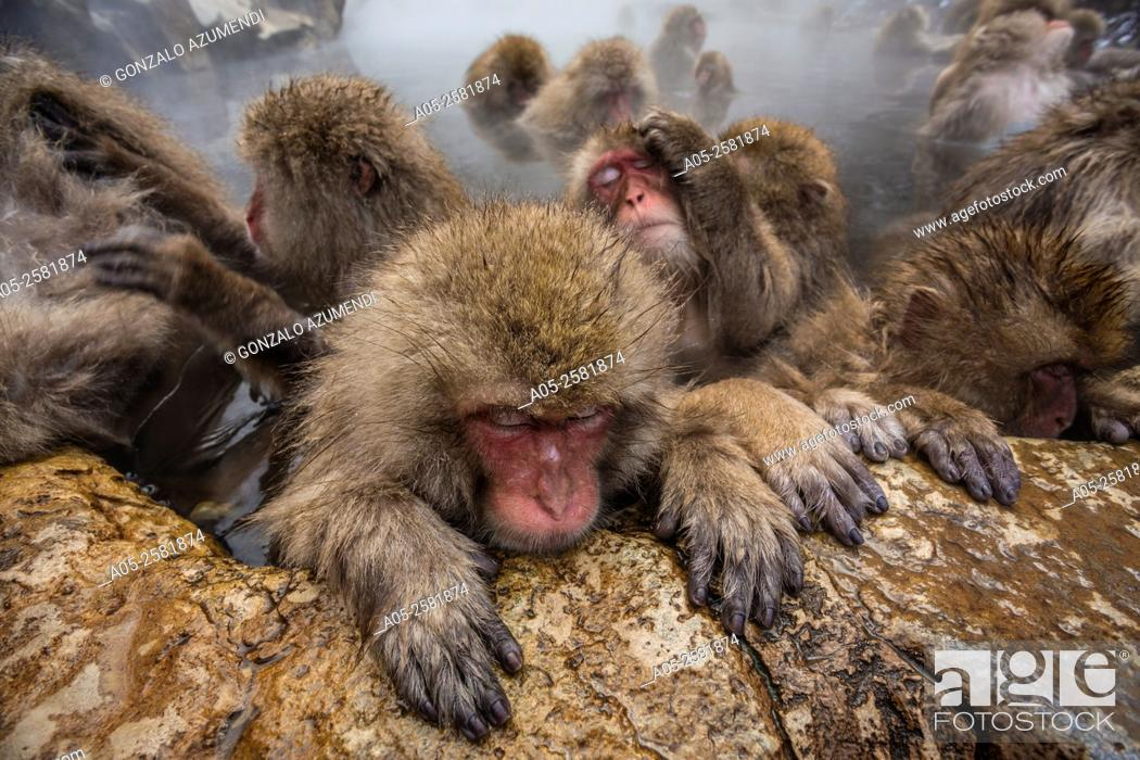 Imagen: Japanese macaque (Macaca fuscata). Snow monkey. Wild monkeys bathing in a natural hot spring. Jigokudani Monkey Park . Yamanouchi. Nagano. Japan.