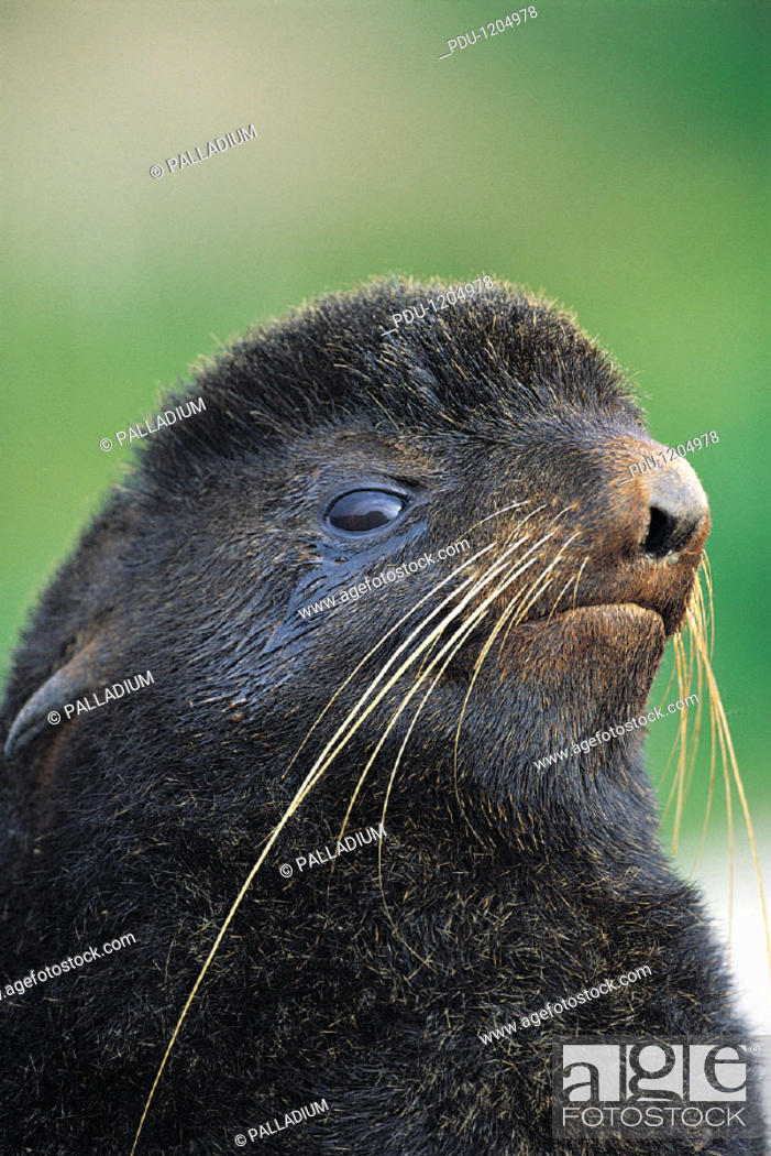 Stock Photo: Northern Fur Seal (callorhinus Ursinus).