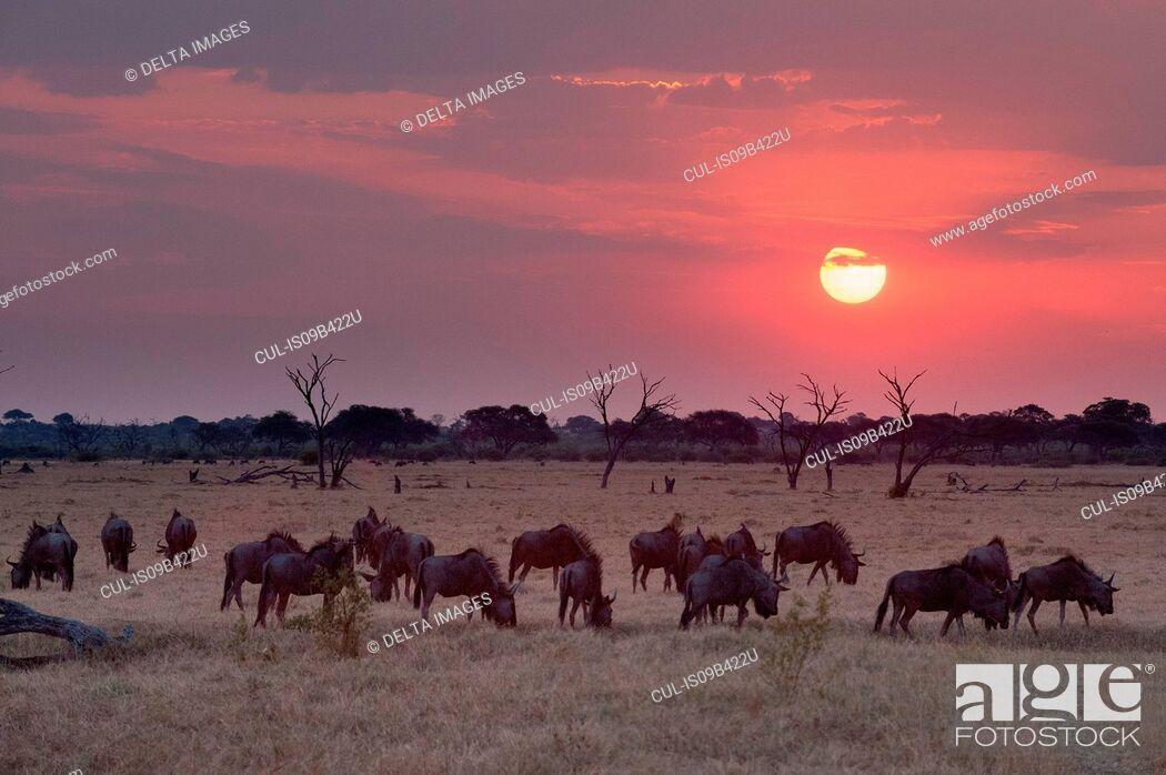 Stock Photo: Sunset landscape with herd of grazing wildebeest ( Connochaetes taurinus) , Savuti marsh, Chobe National Park, Botswana.