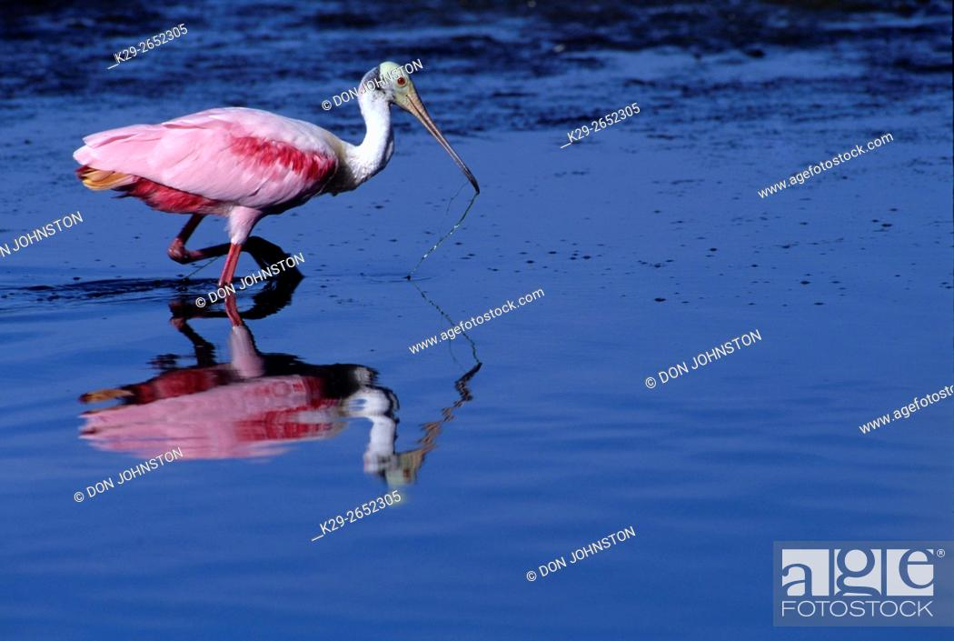 Stock Photo: Roseate Spoonbill (Ajaia ajaja), Ding Darling NWR, Florida, USA.