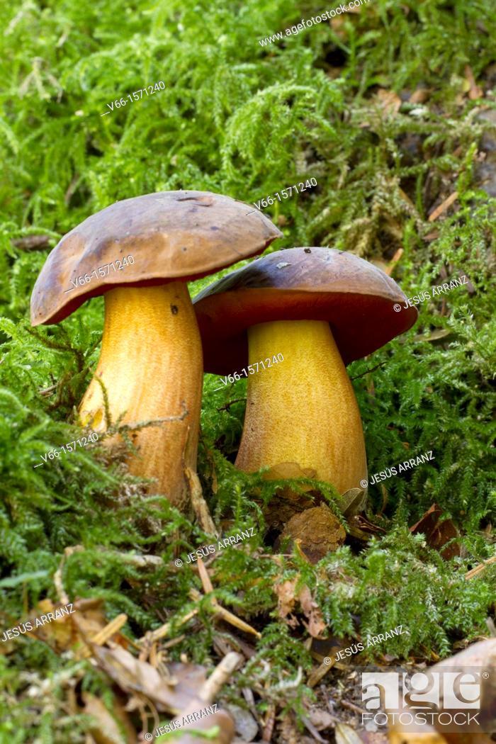 Stock Photo: Boletus dupainii.