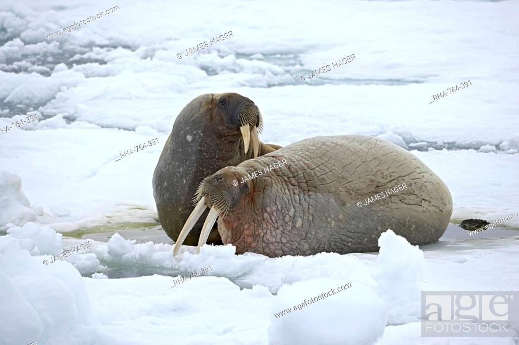 Stock Photo: Two walruses Odobenus rosmarus on the ice, Sjuoyane Island, Svalbard Islands, Norway, Scandinavia, Europe.