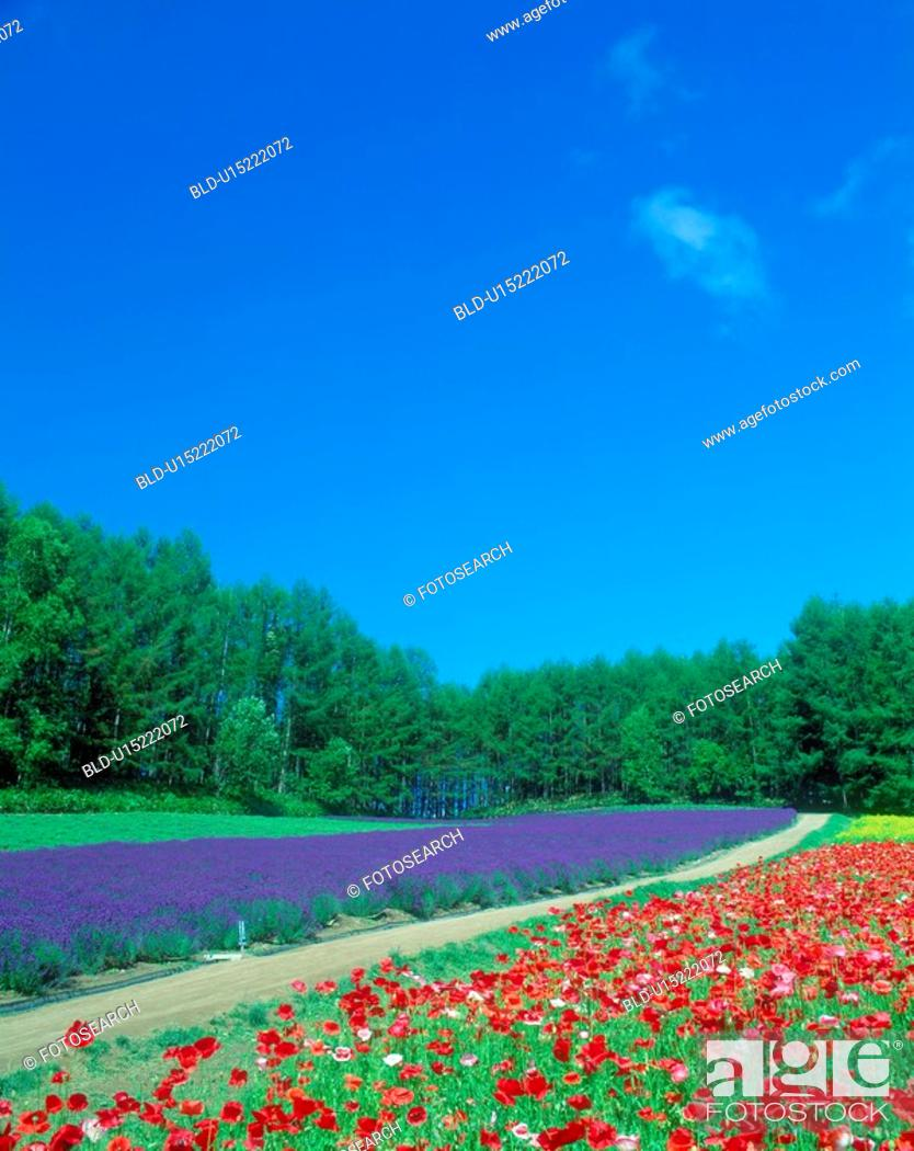 Stock Photo: Flower field and blue sky (Poppy and the lavender).