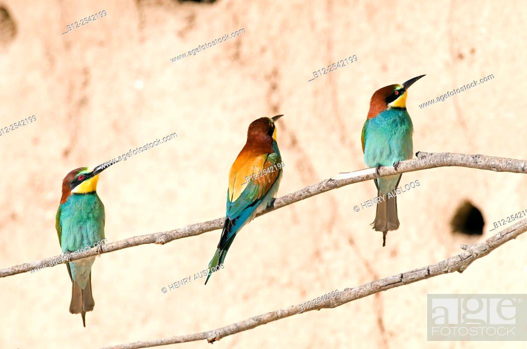 Stock Photo: European Bee Eater, Merops apiaster, France.