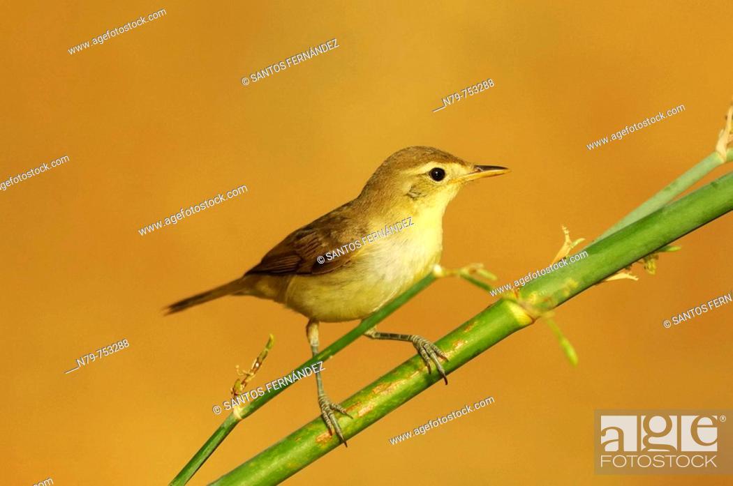 Stock Photo: Chiffchaff (Phylloscopus collybita). Valle de Alcudia, Ciudad Real province, Castilla-La Mancha, Spain.