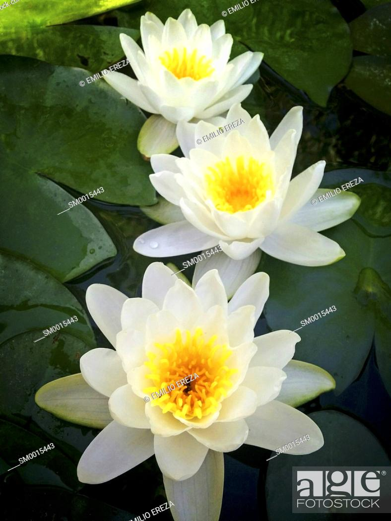 Stock Photo: Water lily. Nymphaea alba.