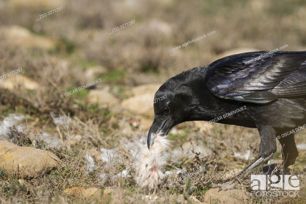 Stock Photo: Common Raven (Corvus corax) feeding on ground. Pre-Pyrenees. Lleida province. Catalonia. Spain.