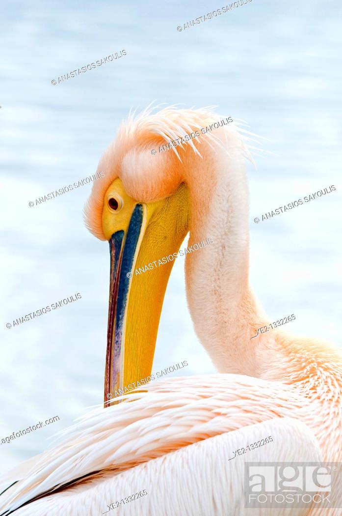 Imagen: White Pelican Pelecanus onocrotalus, Crete.