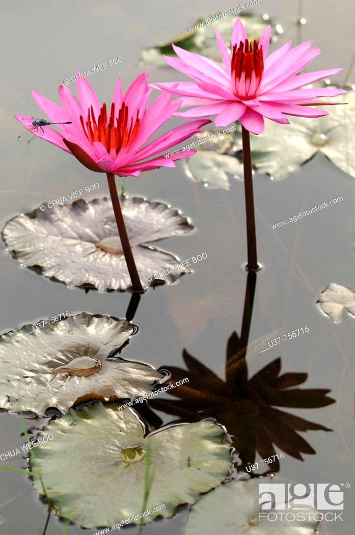 Stock Photo: Water lilies.
