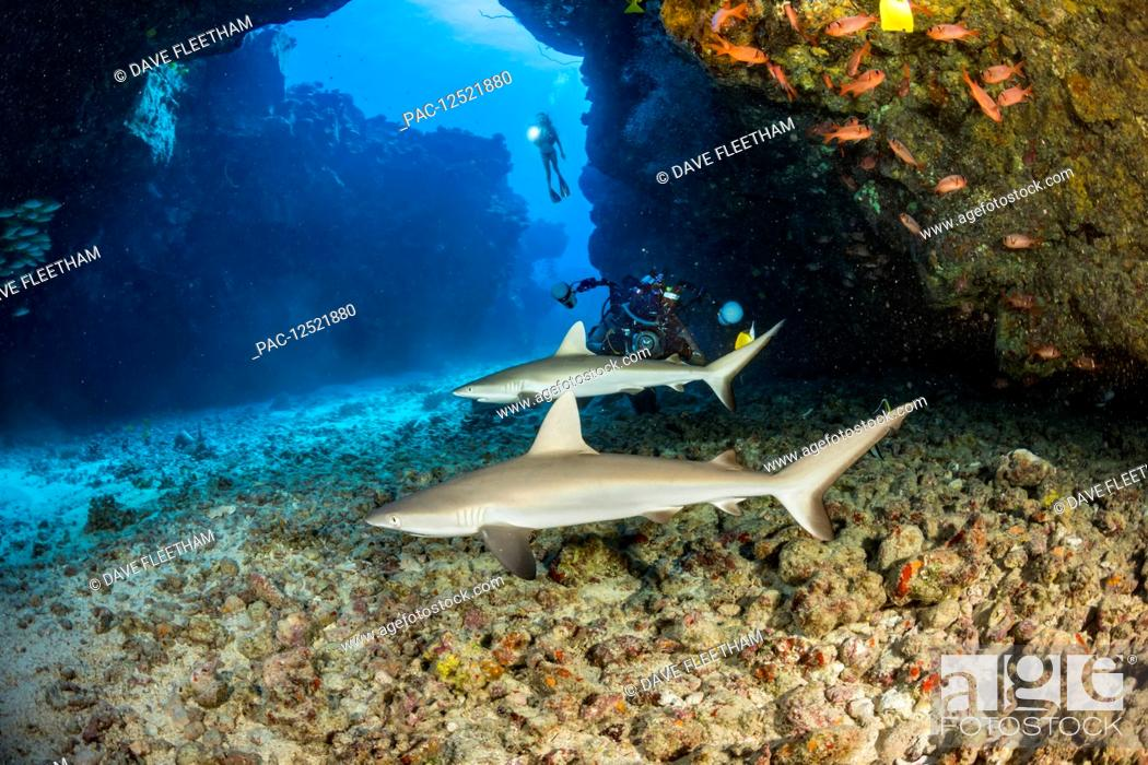 Stock Photo: This dive site off the Kona coast is known as A Touch of Gray and is home of several juvinile Grey reef sharks (Carcharhinus amblyrhynchos); Hawaii.