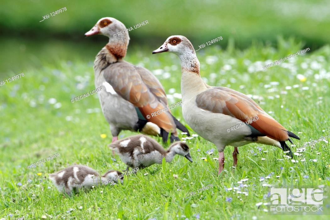 Stock Photo: Egyptian Geese Alopochen aegyptiacus, parents with goslings, Germany.