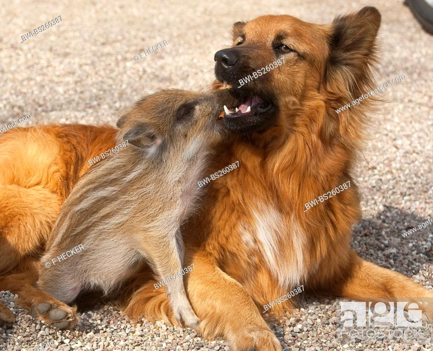 wild boar, pig, wild boar Sus scrofa, piglet playing with a