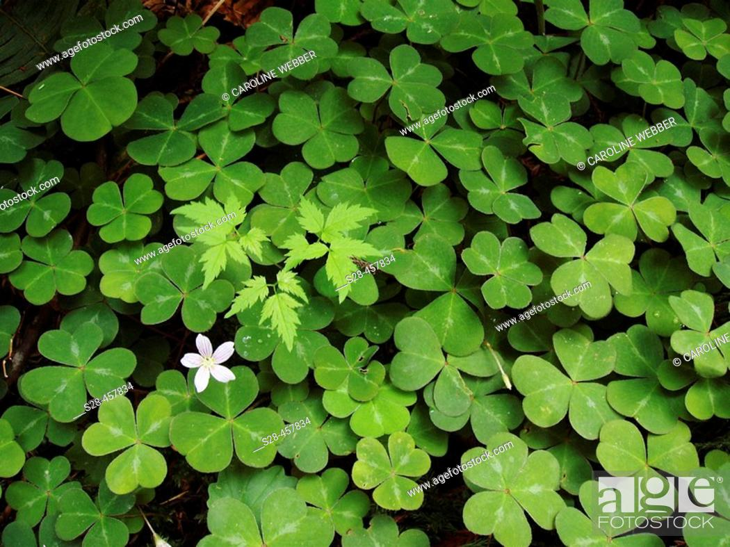Stock Photo: Clovers in Redwoods, Redwood National Park, California, USA.