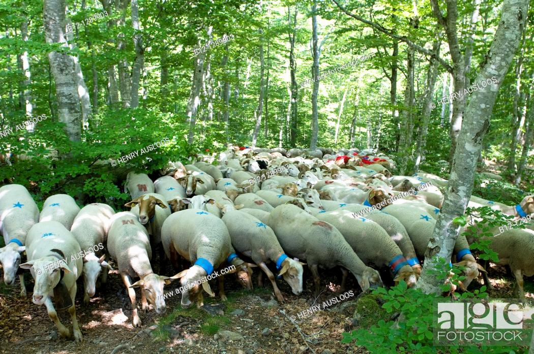 Stock Photo: Sheep, transhumance, Esperou, Cevennes, France.