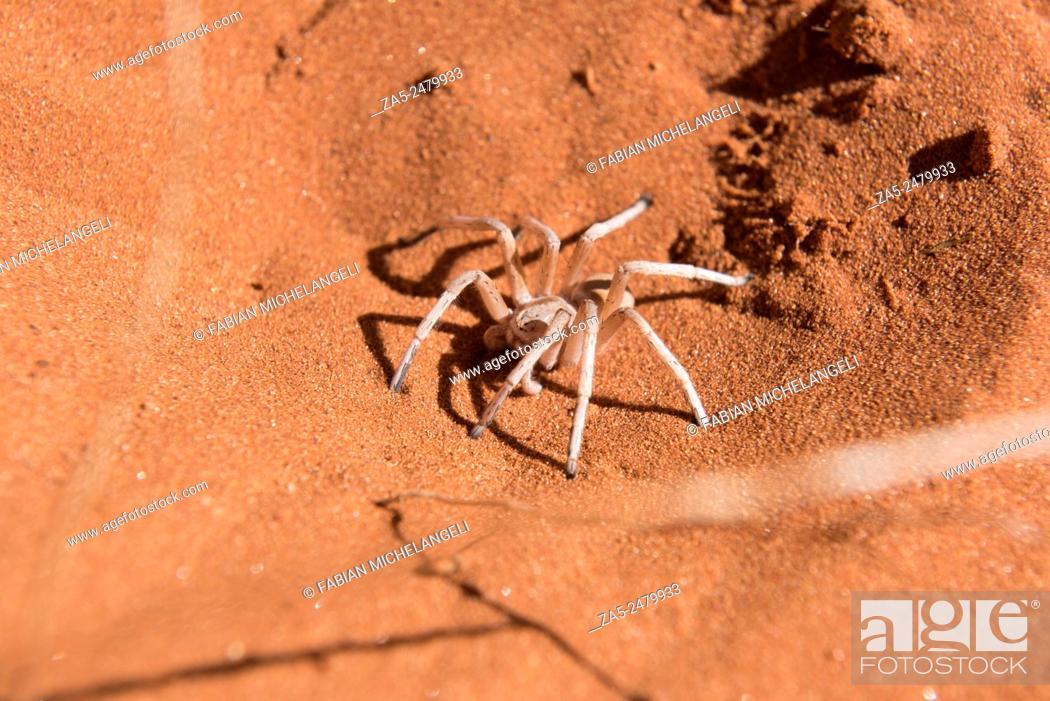 Stock Photo: Dancing White Lady Spider (Leucorchestris arenicola) in the Nabib Desert, Namibia.