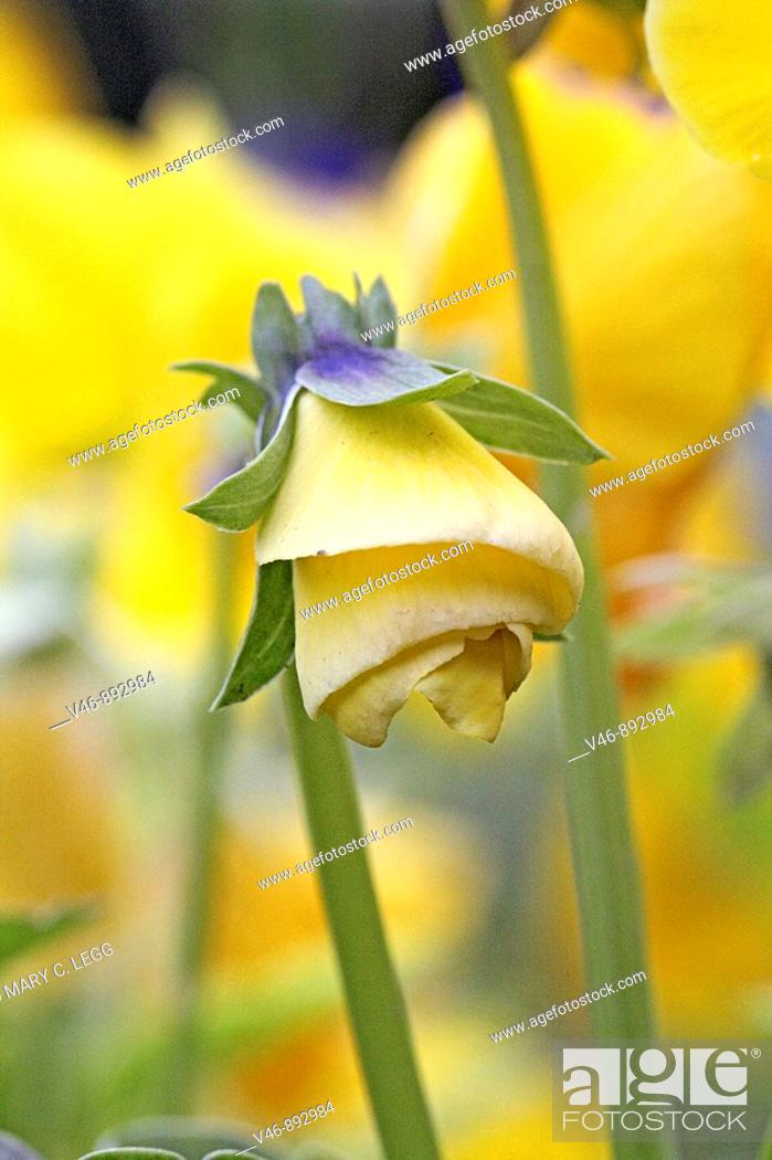 Stock Photo: Yellow pansy bud unfolding  Unfolding in a spiral a yellow pansy hangs like a miniature art deco lamp  Blurred background of yellow pansies in a public garden.