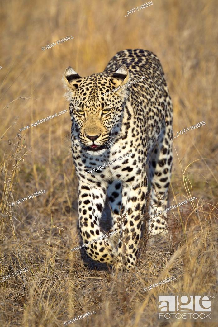 Stock Photo: A leopard walking through grass.