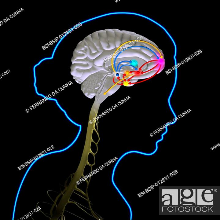 The brain reward pathway is indispensable to the survival because it ...