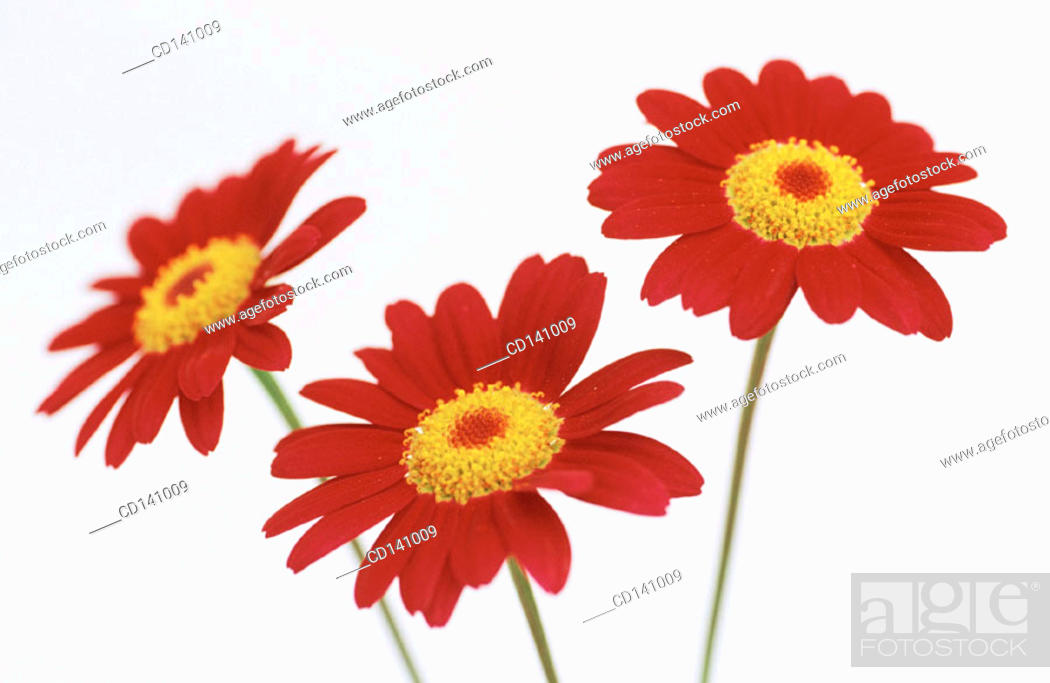 Stock Photo: Chrysanthemums.