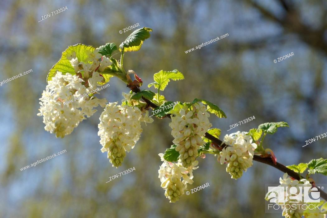 White flowering currant stock photo picture and rights managed stock photo white flowering currant mightylinksfo