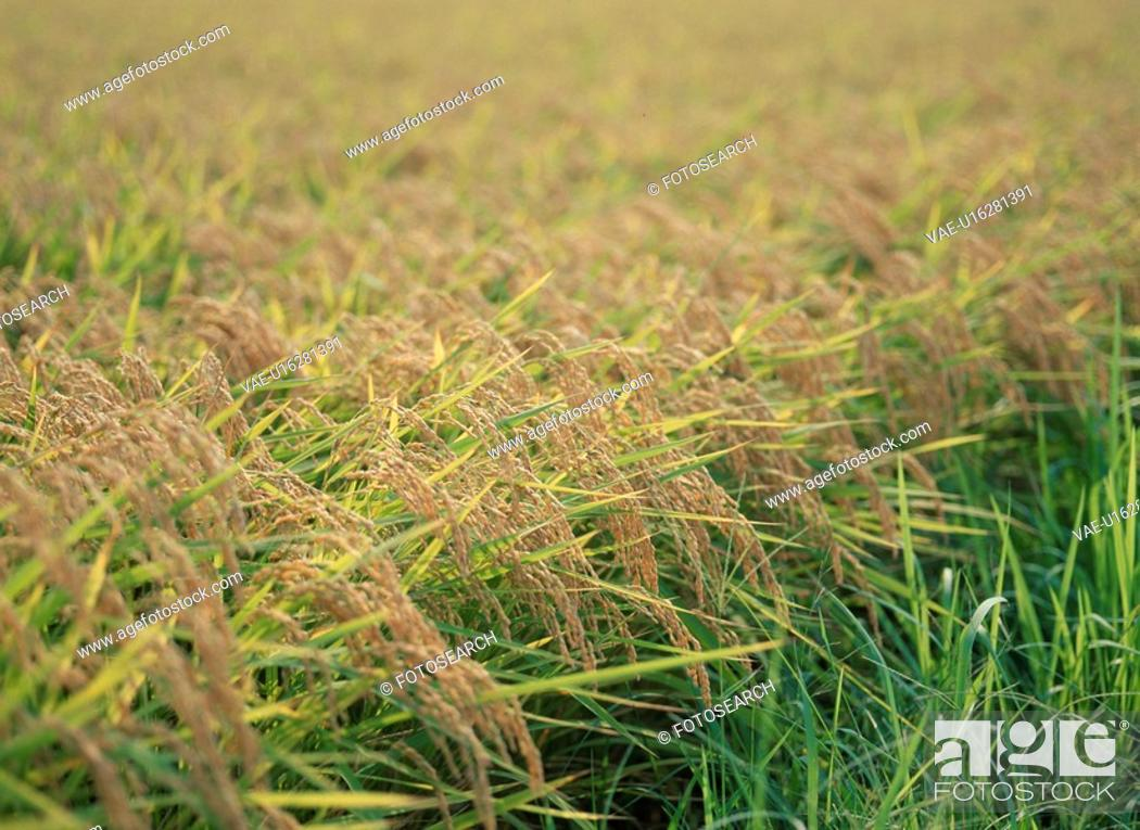 Stock Photo: Rice Plants.