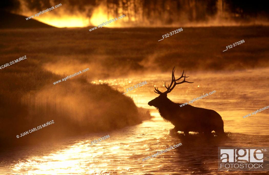 Stock Photo: Wapiti (Cervus canadensis) at dawn.