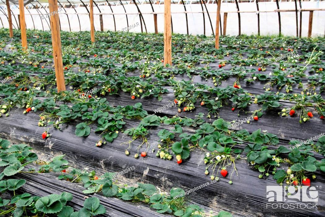Stock Photo: strawberry greenhouses.