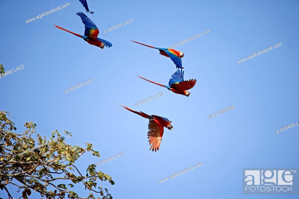 Stock Photo: Scarlet Macaw, ara macao, Group in Flight, Los Lianos in Venezuela.