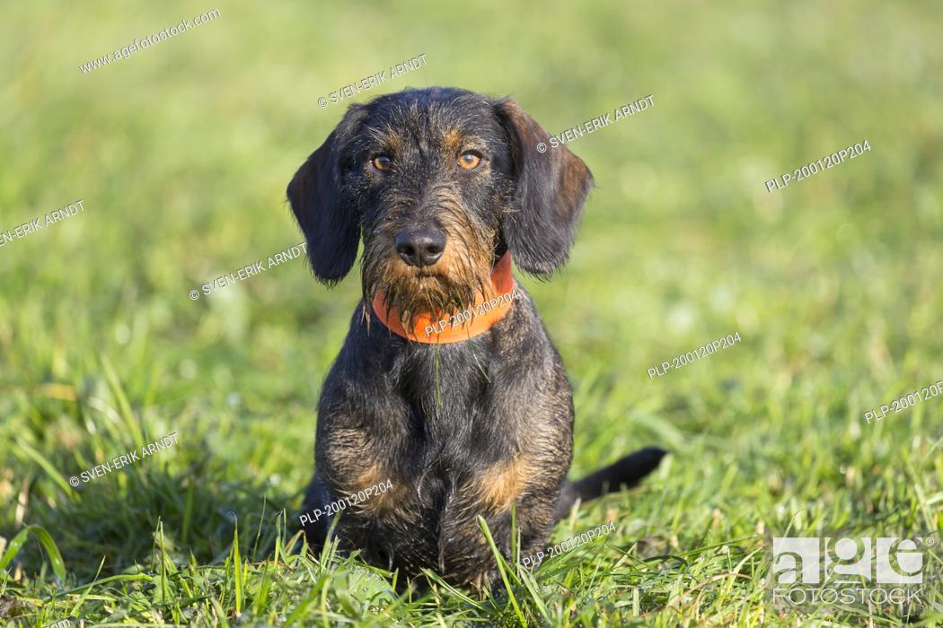 Imagen: Wire-haired dachshund / wirehaired dachshund, short-legged, long-bodied, hound-type dog breed on the lawn in garden.