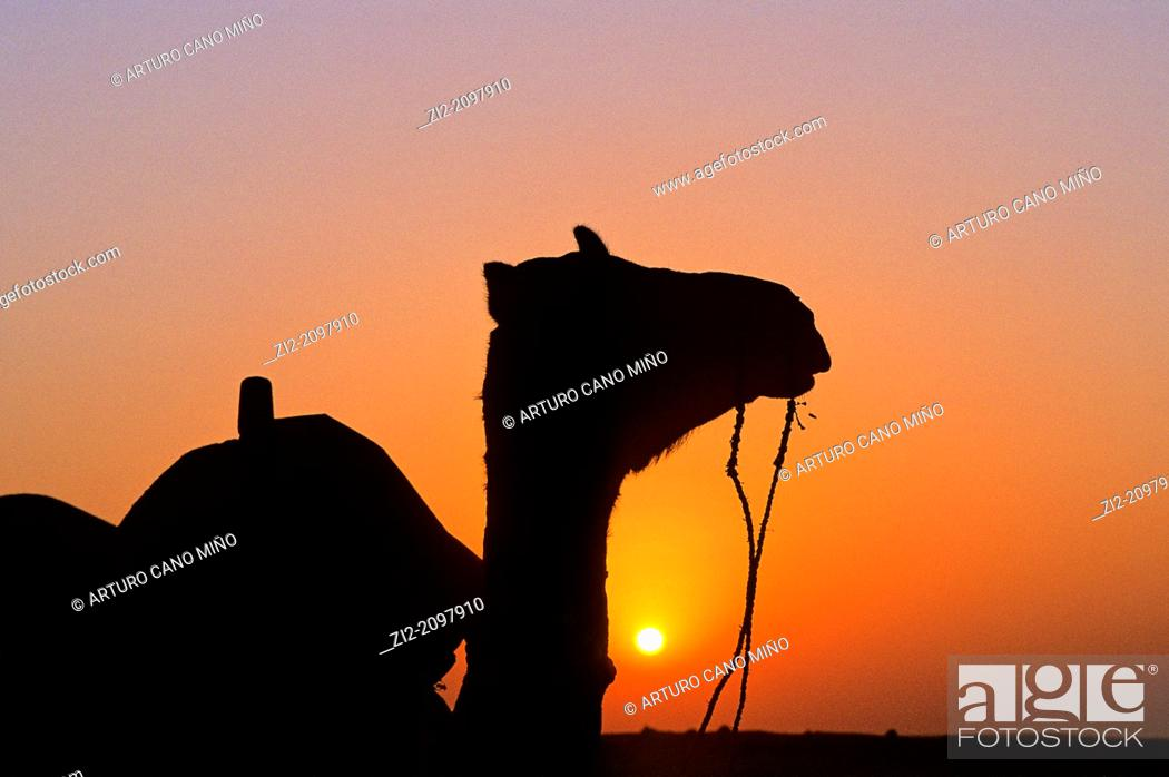 Stock Photo: A camel at sunset on the Thar Desert, near Jaisalmer, Rajasthan state, India.
