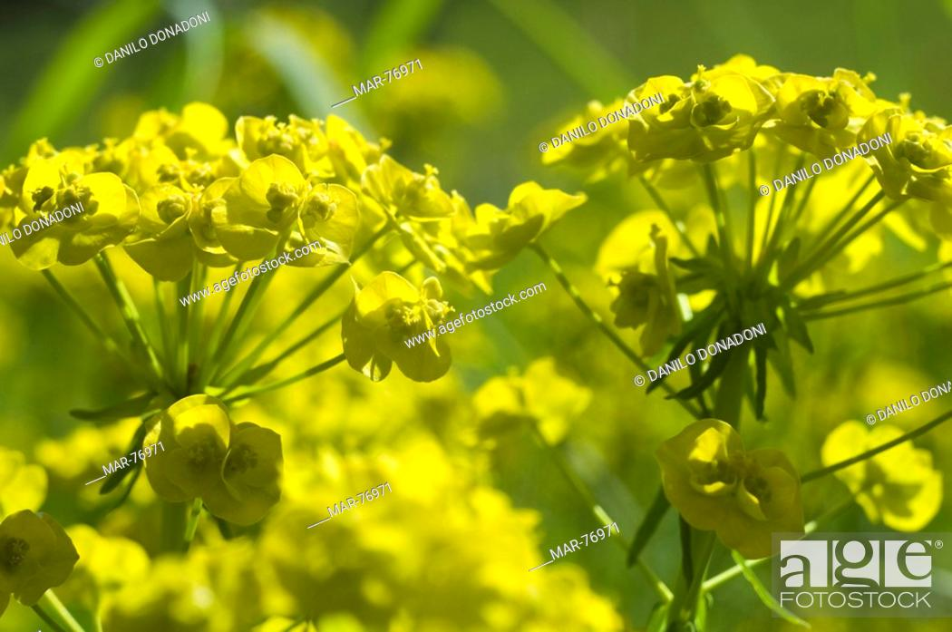 Stock Photo: euphorbia cyparissias flowers, montisola, italy.