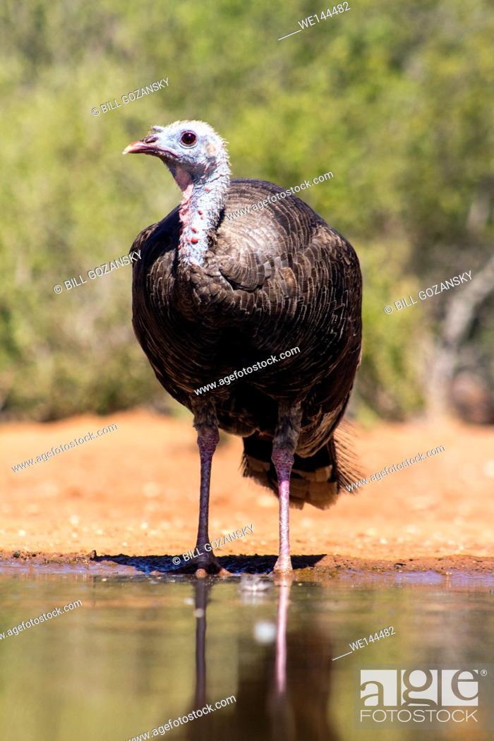 Stock Photo: Wild Turkey (Meleagris gallopavo) - Santa Clara Ranch, McCook, Texas, USA.