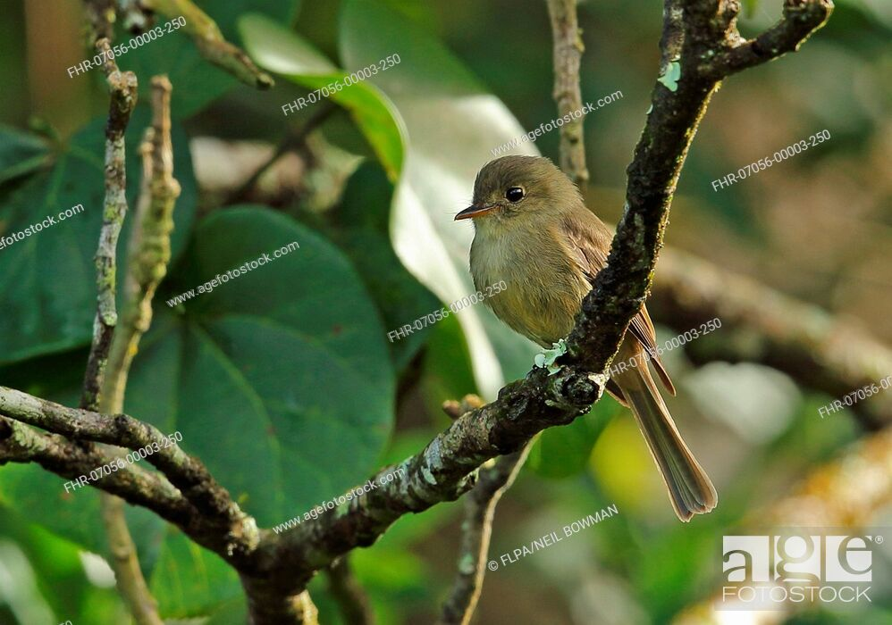 Stock Photo: Jamaican Pewee (Contopus pallidus) adult, perched on twig, Marshall's Pen, Jamaica, December.