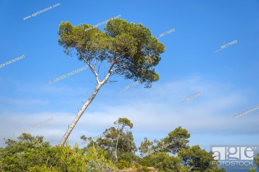 Stock Photo: Pine tree on Pointe du Layet, Le Lavandou, Var, Provence-Alpes-Cote d`Azur, France, Europe.