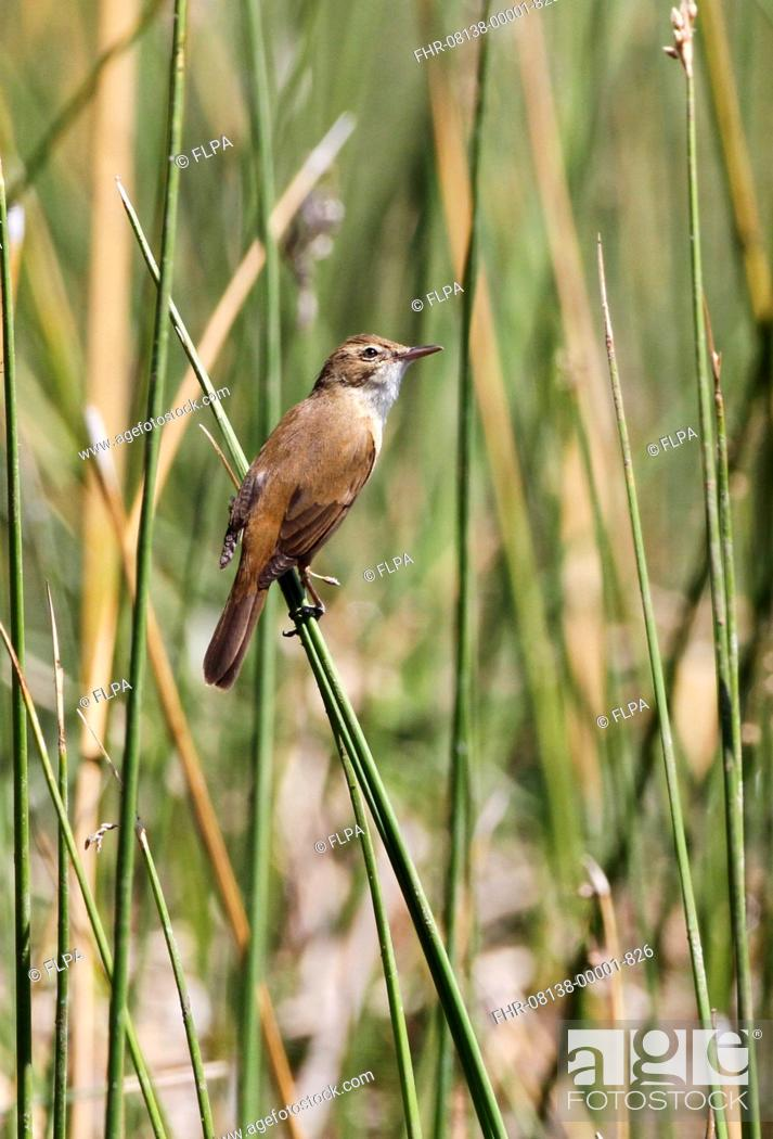 Stock Photo: Australian Reed-warbler (Acrocephalus australis) adult, perched on stems at river edge, Glen Helen Gorge, West MacDonnell N.P.