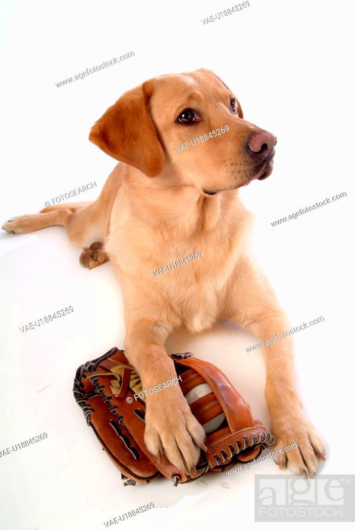 Stock Photo: house pet, domestic, cute, loving, canines, labrador retriever.