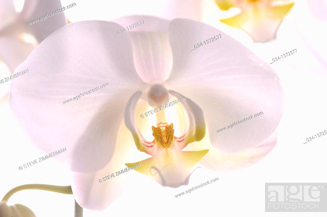 Stock Photo: Orchid in Studio.