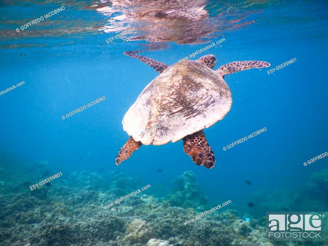Stock Photo: sea turtle on the Maldivian coral reef that swims among placid and peaceful plankton looking for food.
