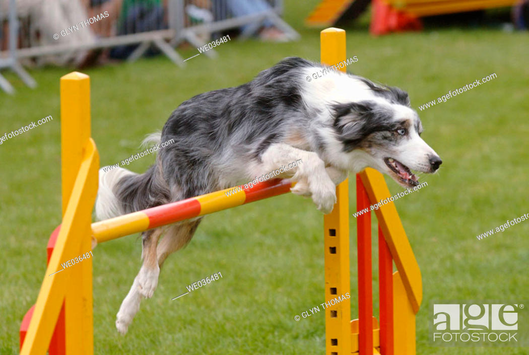 Stock Photo: Dog jumping over an obstacle bar during agility competition.