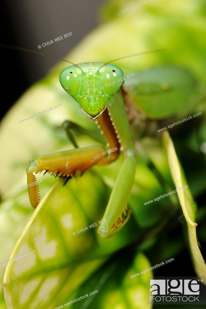 Stock Photo: Mantis.