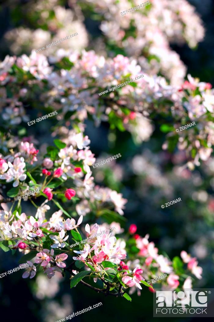 Stock Photo: blossom tree.