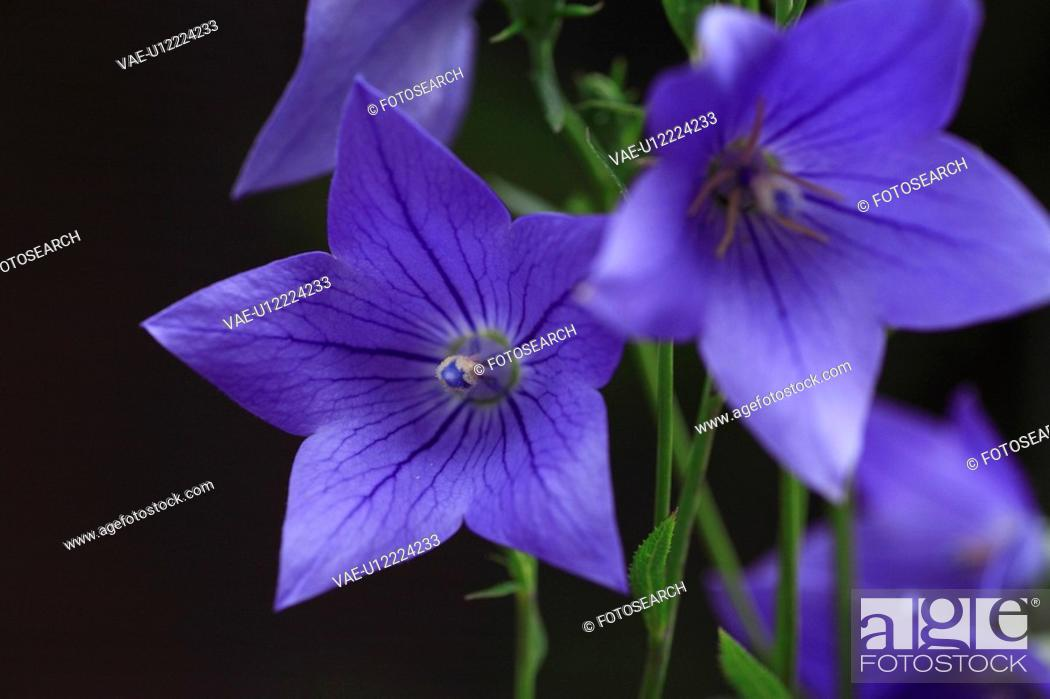 Stock Photo: Bellflower.