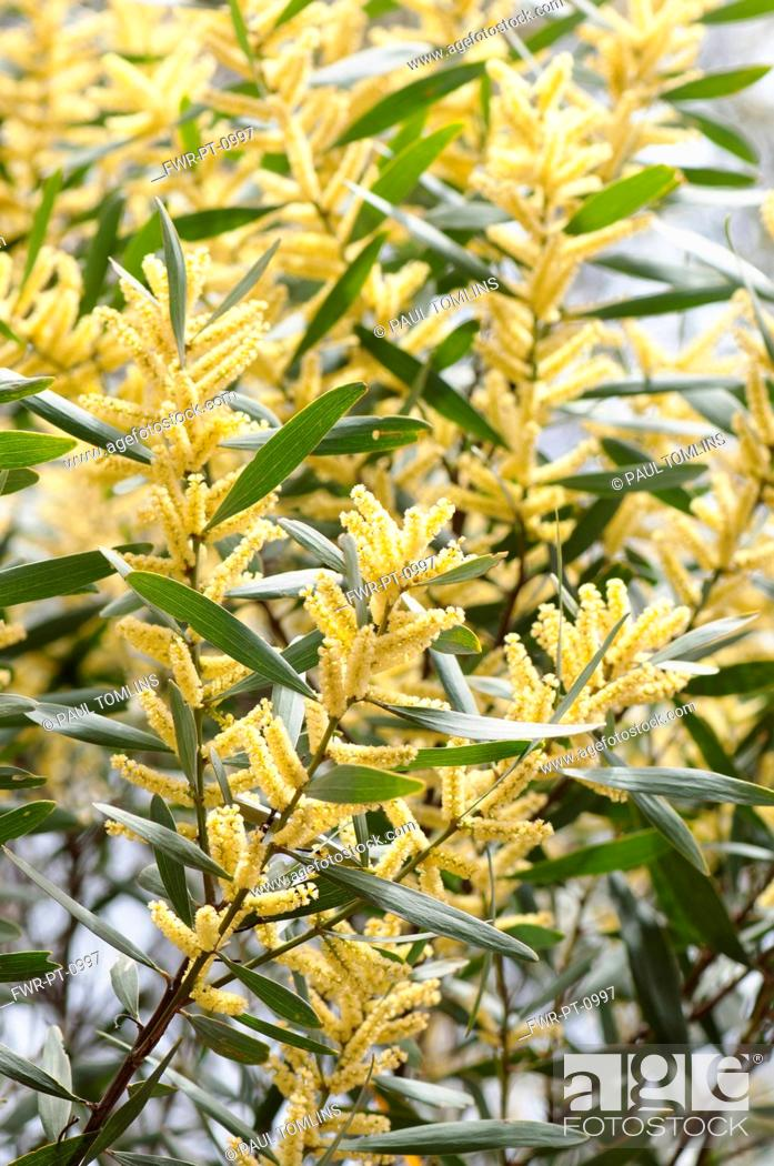 Wattle golden wattle acacia longifolia close up showong the stock photo wattle golden wattle acacia longifolia close up showong the yellow flowers mightylinksfo