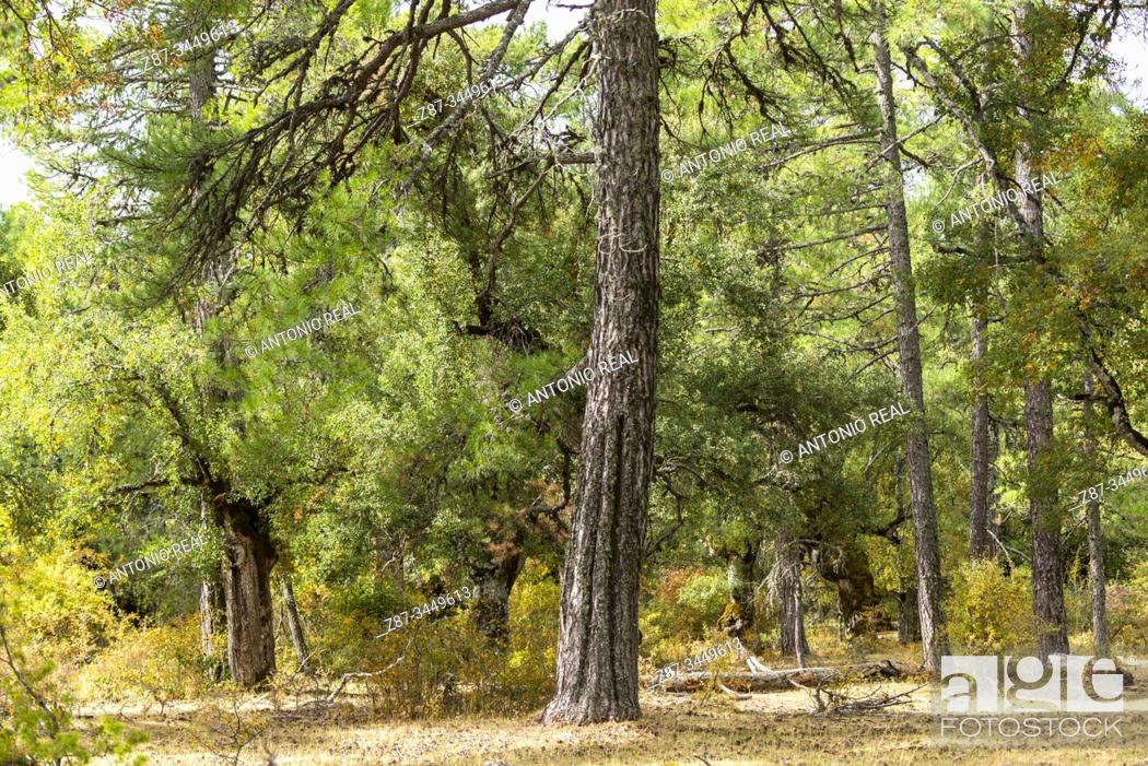 Imagen: Centennial oaks (Quercus faginea). Dehesa Boyal. Valsalobre. Serranía de Cuenca, Cuenca province, Spain.